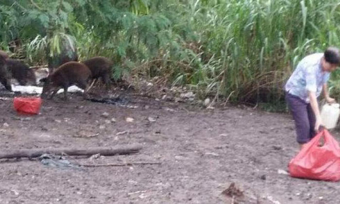 Feeding wild boars causes more harm than good, say experts