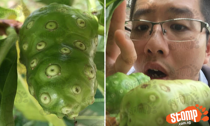 Anyone knows what these 'alien looking fruits' growing under tree in Kovan are?