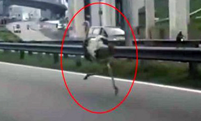 Life in the fast lane: Ostrich runs 'afowl' on Malaysian highway, but stays within speed limit