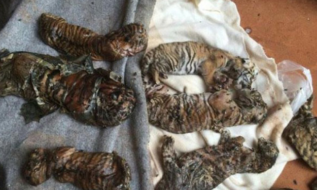 Horrific discovery at Thailand's Tiger Temple: At least 40 dead cubs found in freezer