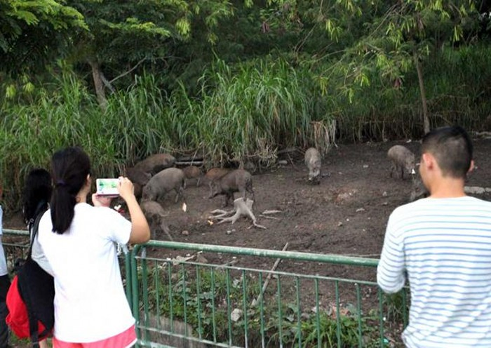 Right or wrong? Woman feeding wild boars in Pasir Ris sparks praise and concern