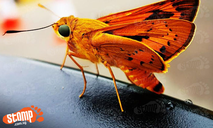 Check out this beautiful butterfly 'sunbathing' at Lim Chu Kang