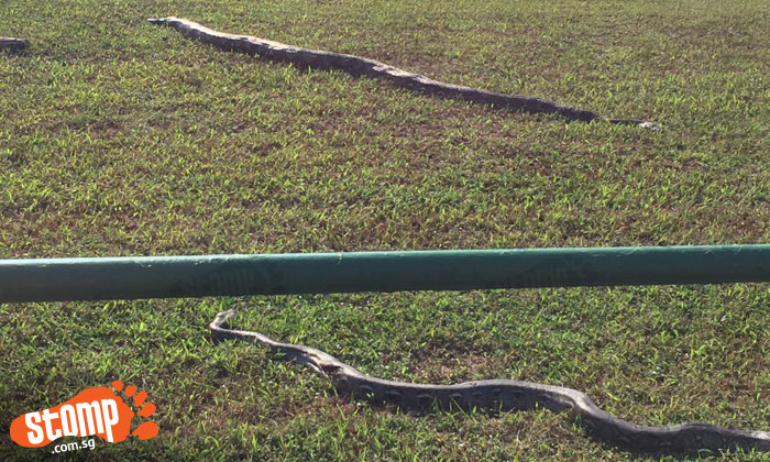 What happened? 2 large pythons found dead at Lim Chu Kang Road