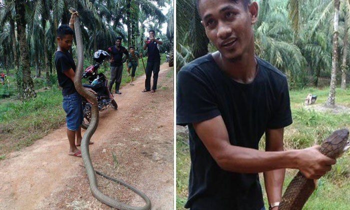 Man struggles as he catches a Cobra in Malaysia -- armed only with a stick