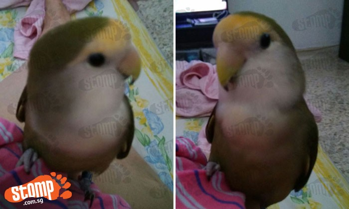 NSF's lovebird went missing -- $200 reward for the person who finds it