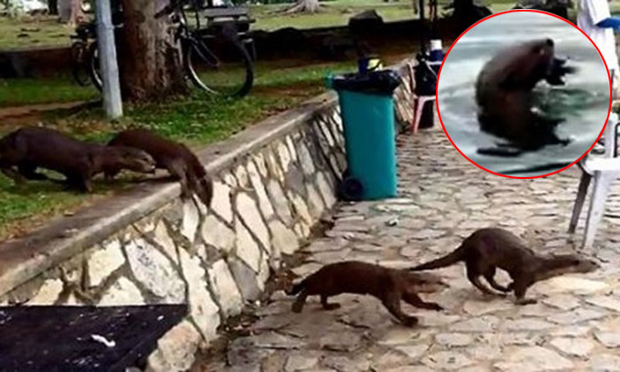 Otters raid fishing pond at Pasir Ris Park -- and eat up to $500 worth of fish a night
