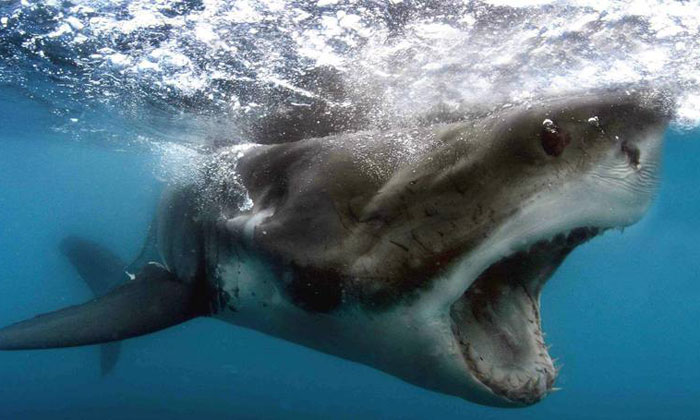 This is why you'll never see a great white shark at an aquarium
