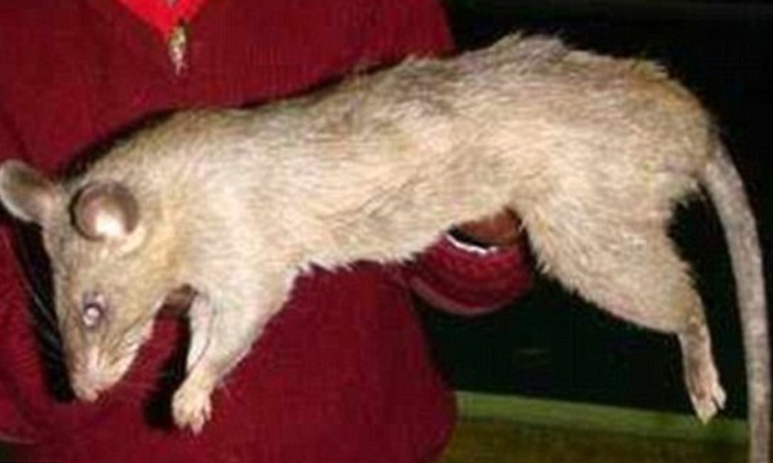 Photo: The Daily Mail. A giant rat in South Africa, much like the ones which are thought to have killed the three-month-old infant at the weekend.