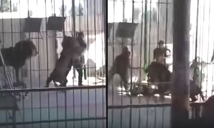 Lion kills circus worker at live show In terrifying video