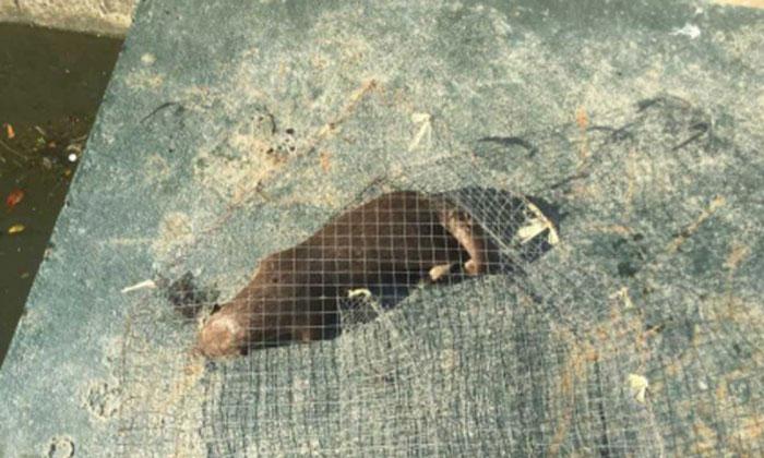 Dead otter in a cage found along the Marina Promenade in the Kallang Basin. PHOTO: Public Utilities Board.