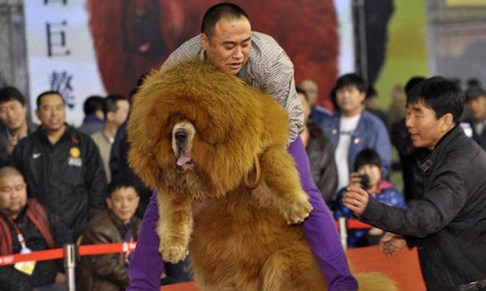 tibetan mastiff for sale