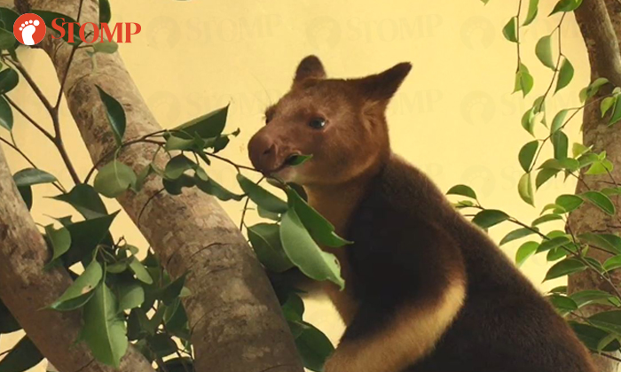 Nupela, a tree kangaroo from Australia, now resides in our Singapore Zoo