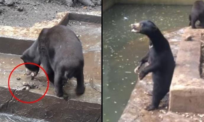 Starving Sun Bears In Indonesia Zoo Beg For Food Eat