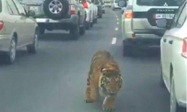 Rich kid's pet tiger gets loose and runs along highway in Qatar