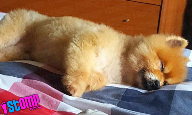 Lost Pomeranian reunited with owner within hours of Stomp report