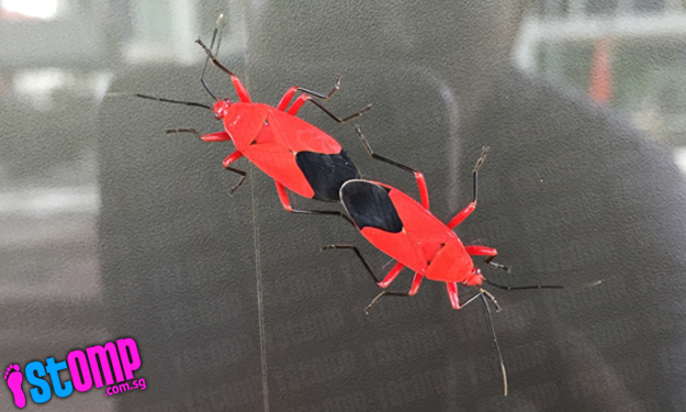 How weird! What are these black and red cockroach-like insects at Katong Plaza?