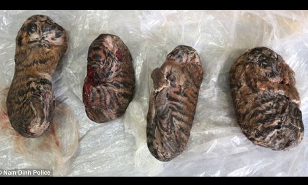 Heartbreaking photo shows tiger cubs in Vietnam frozen so they can be sold to make glue