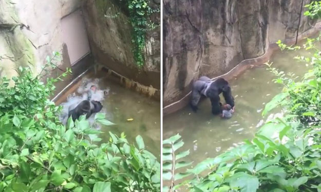 Gorilla killed to save 3-year-old who fell into Ohio zoo exhibit: Animal expert and child's mum responds to criticism