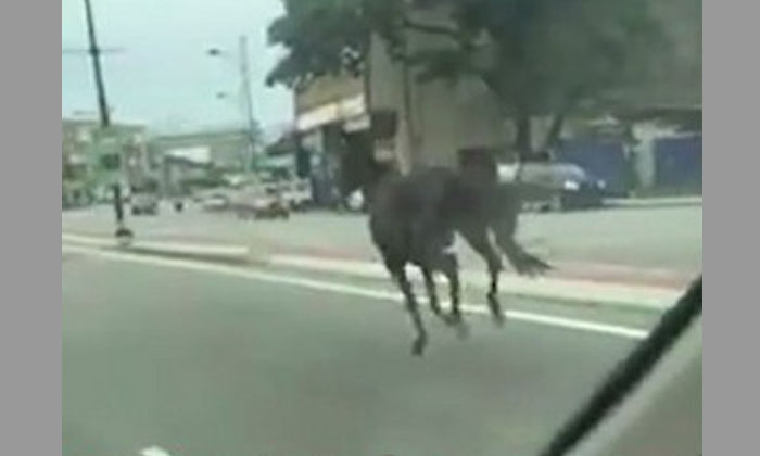 First it was ostrich, now horse spotted running on Malaysian highway