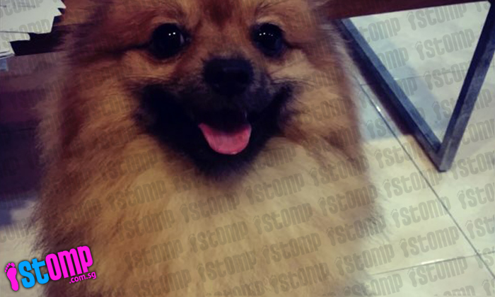 Have you seen Coffee the Pomeranian? Worried owner is offering a reward for safe return.