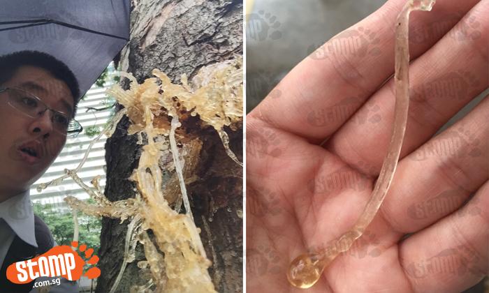 Stomper intrigued by 'sick tree with flu-like' symptoms along Jalan Bukit Merah