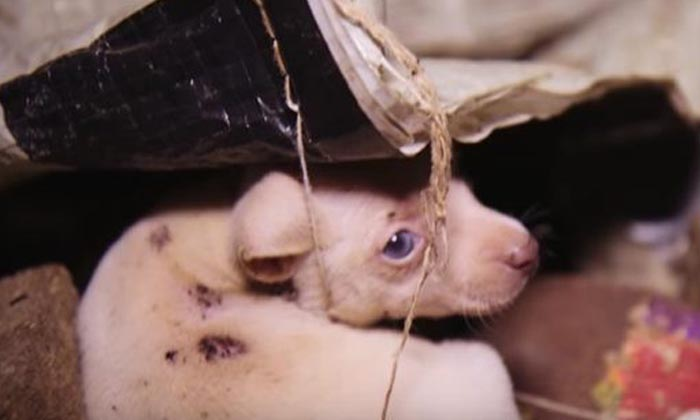 Operation Dire Straits: Saving mistreated puppies from unlicensed puppy mills in the US