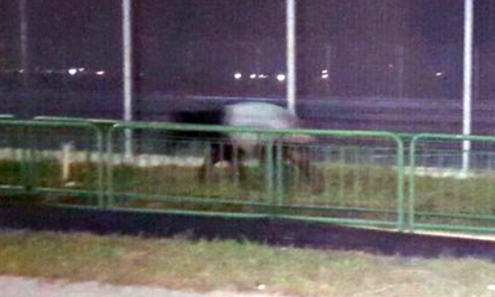 Why hello there! Rare Malayan tapir spotted running at Changi