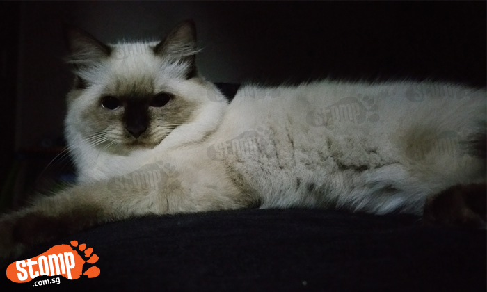 Have you seen this cute Ragdoll cat? She was last seen at Fajar Road