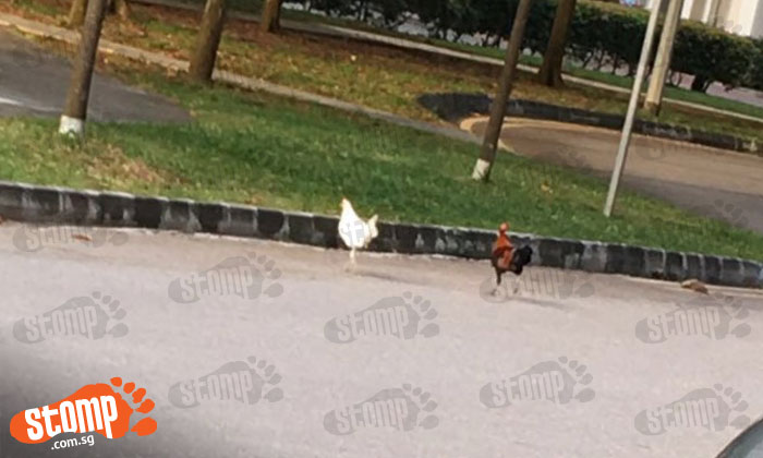 Why did the chickens cross the road -- at Strathmore Avenue?