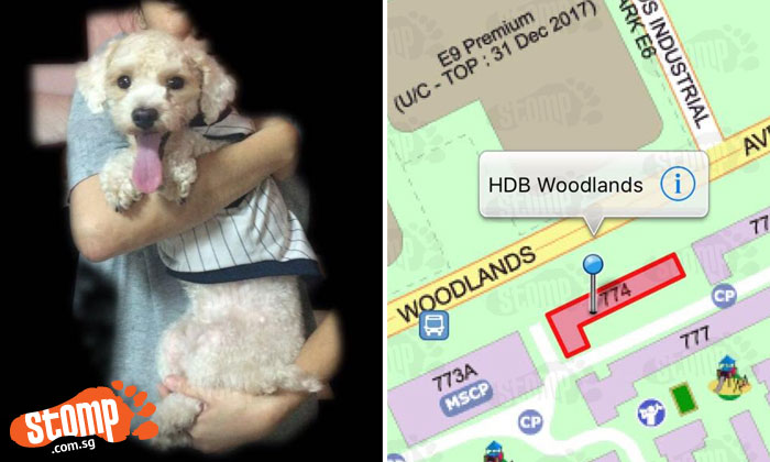 Owner offering $500 reward for anyone who finds his lost poodle last seen at Blk 774 in Woodlands