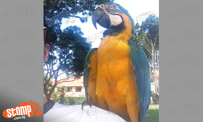 Have you seen this blue and yellow macaw that flew away from Thomson Plaza?