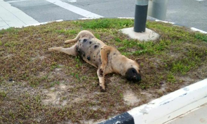Outcry from animal rights groups after pregnant dog found dead -- with blue tongue and bruises