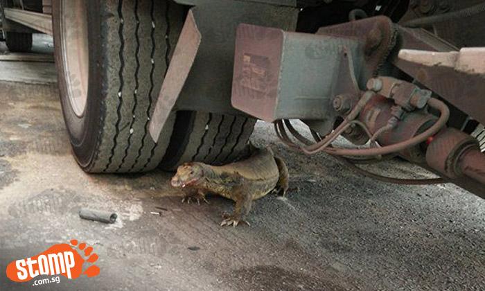 Look out before reversing! Monitor lizard rests behind truck along Senoko Way