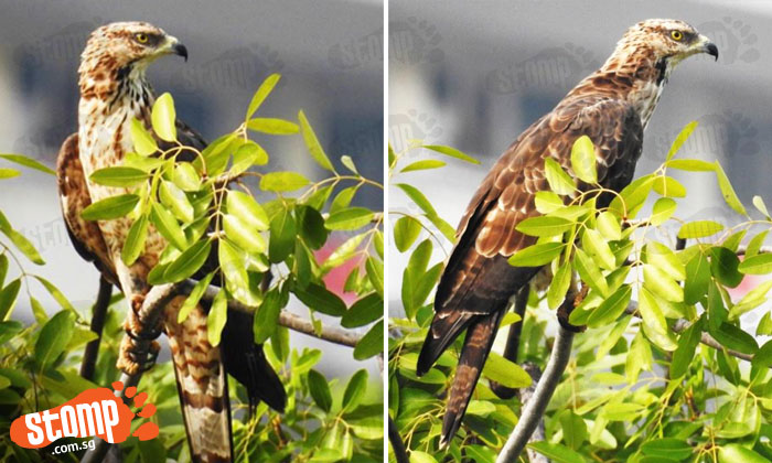 Think your Pidgeot or Fearow is majestic? This bird spotted at Woodlands will put them to shame