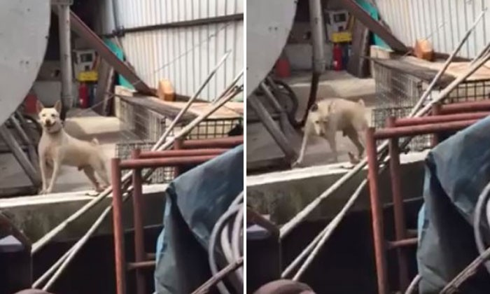 Poor dog chained up at Penjuru Rd factory daily for at least 3 years