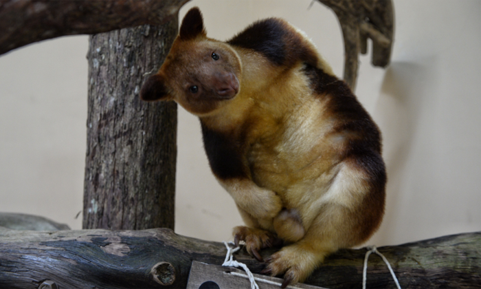 How cute! 'Miracle' orphaned tree kangaroo moves to Singapore Zoo