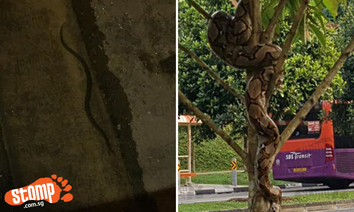 Anyone hunting for a wild Ekans around Singapore?