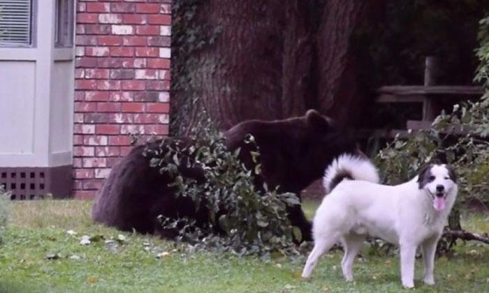 Brave dog barks at gigantic bear to chase him away