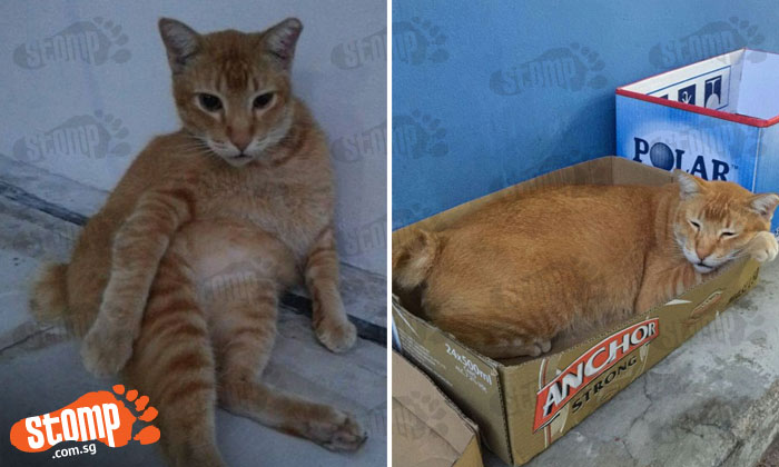 Feeder devastated after community ginger cat goes missing from Block 24 Beo Crescent