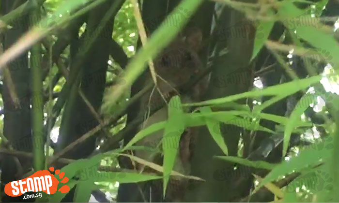Can you identify this cute furball spotted at bamboo grove in West Coast Park?