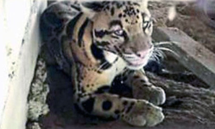 'Big cat' resting under house in Malaysia lets out defeaning roar, turns out to be a leopard