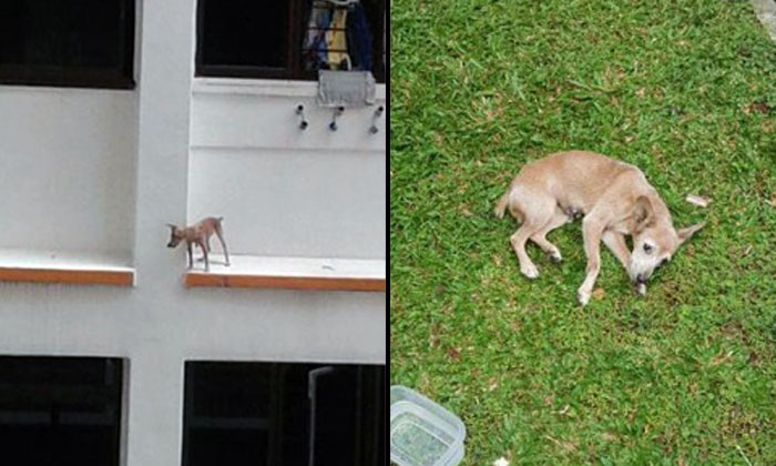 Dog stuck on 3rd-storey ledge falls before SPCA rescue officer can get to it