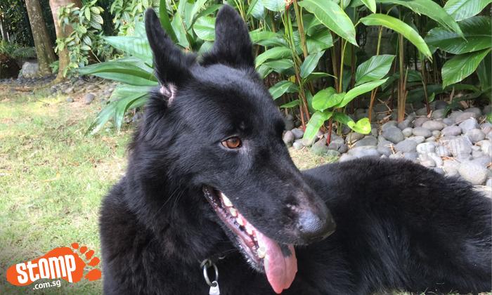 Have you seen Atilla the German Shephard? She went missing at Serangoon Gardens