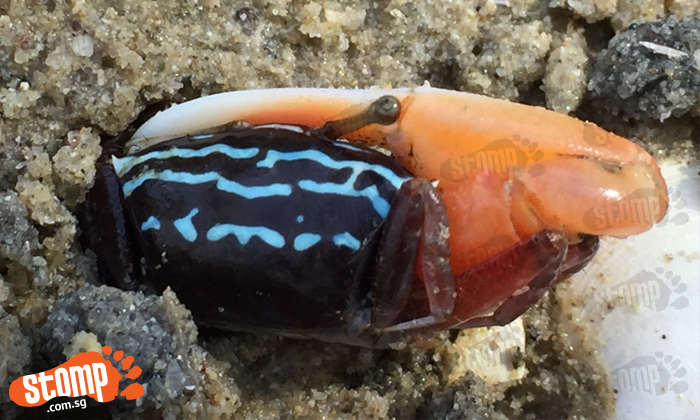 Beautifully-coloured crab gets stuck in a hole at Pasir Ris Park