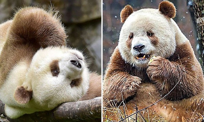 World's only brown panda, abandoned by its mother, gets ready for mating