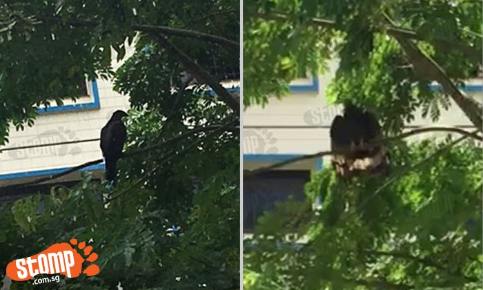 Is this an eagle? Stomper spots big bird at Block 788, Woodlands Ave 6