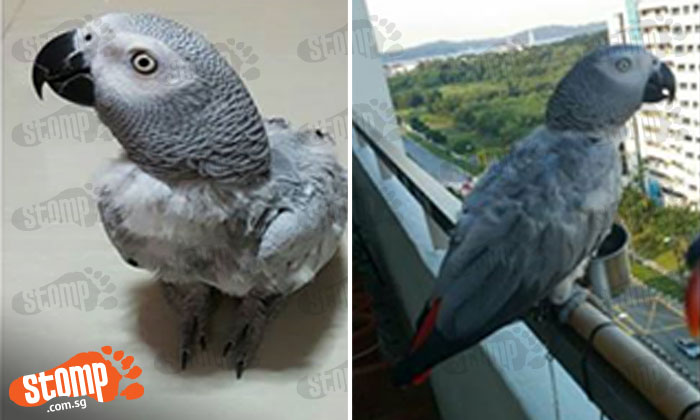 Have you seen this lost parrot last seen at Block 484 Pasir Ris Drive 4?