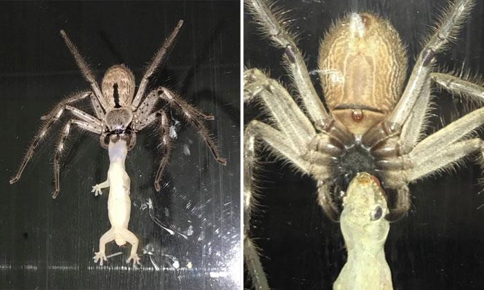 Only in Australia: Huge spider hunts down a gecko