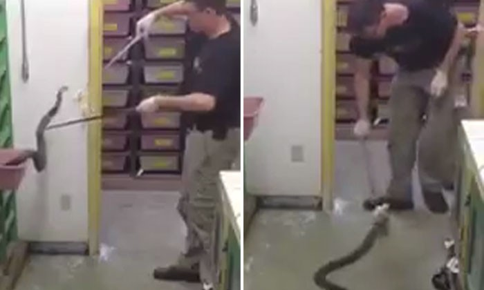 Guy feeds snake for a living -- and whistles while he's at it