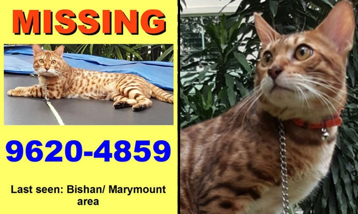 Missing cat with leopard spots last seen around Bishan and Marymount